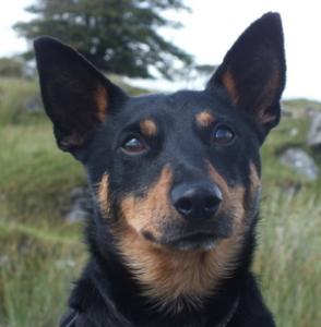 Bilbo - Lancashire heeler dog