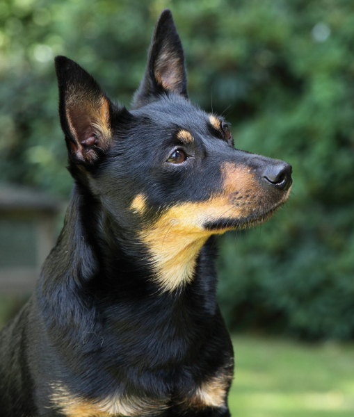 Pickle Dog Breed
