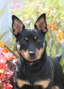 dora - lancashire heeler bitch puppy