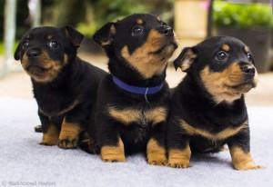 puppy-4-wm