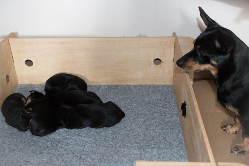 Dora watching her sleeping puppies